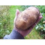 Продам картофель, семена, картошка, Киев