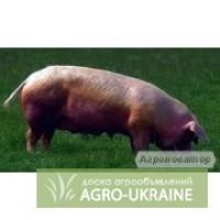 Продам свиней живым весом 120-140 кг