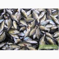 Рыбопосадочный материал
