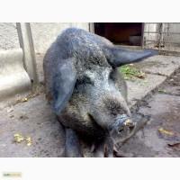 Продам свиноматку венгерської мангалиці