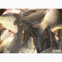 Продам живую рыбу карп карась толстолоб возможно сдоставкою