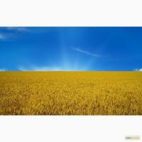 Пшеница 2-3 класс, фураж.Дорого