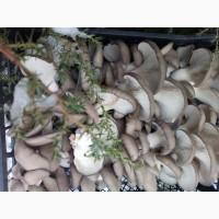 Продам оптом грибы вешанку свежую, сушеную, грибной порошок