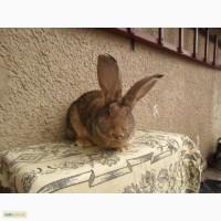 Продаю кролі бельгійський велікан(фландр)