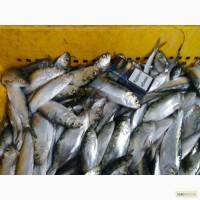 Продам Рыбу Пузанок