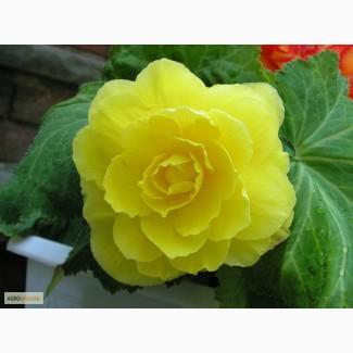 Продам семена Бегония Желтая