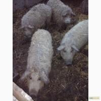 Поросятавід свині Мангалиці