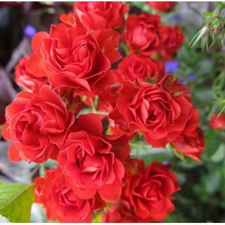 Саженцы роз Scarlet Meillandecor (Скарлет Майландекор)