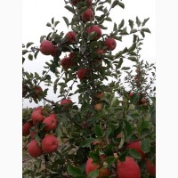Продаём яблоки оптом напрямую из сада