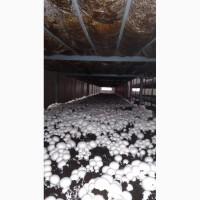 Продам грибы шампиньоны, до 30 000 кг ежемесячно