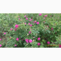 Продам лепестки розы крымской