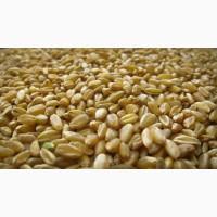 Закуповуємо пшеницю фураж