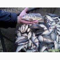 Продам живую рыбу малька; карп, амур.щука.толсто лоб, линь