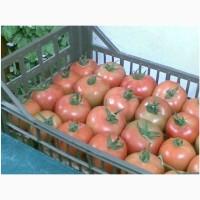Помидор (ailsa tomatoes)- Египет