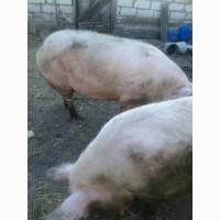 Продам домашних свиней мясной породы (2 головы)