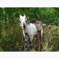 Продам козеня породи Ламанча
