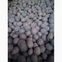 Продам товарный картофель сорт Белла Росса, Ароза