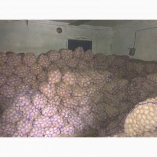 Продам товарный и семенной картофель