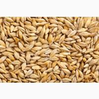 Продам нассіня кукурузи від виробника