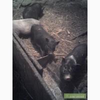 Срочно продам супоросную свиноматку
