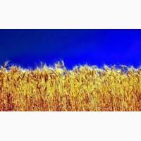 Закупаем Пшеницу.Оптом, по всей Украине
