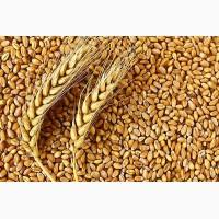 Насіння озимої пшениці Щедрість Одеська