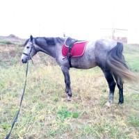 Конь кобыла. Мерин