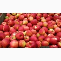 Купимо яблука для переробки