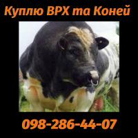 Купуємо Биків на забій по Житомирській Київській Вінницькій Черкаській Хмельницькій обл