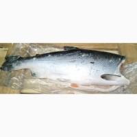 Кижуч рыба 2, 7 – 4 кг. Кижуч тушка без головы