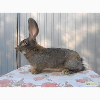 Продам кроликов БВ