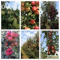Яблоко Джона Голд
