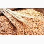 Агропредприятие закупает оптом зерновые культуры (кукуруза, подсолнечник, пшеница, ячмень)