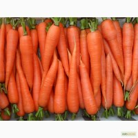 Продаю моркву Престо великим і дрібним оптом, Полтава
