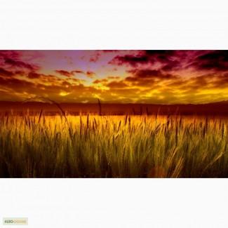 На постоянной основе покупаем пшеницу разноклассовую