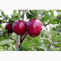 Саджанці плодових дерев - яблуні, груші, сливи, абрикоси, персики. Більше 100 сортів