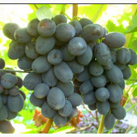 Саженцы винограда сорт Руслан
