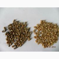Пшеница с головней