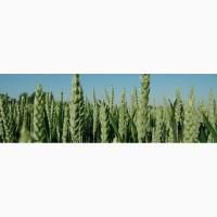 Семена озимой пшеницы, сорт Актер (Дойче Заатфеределунг АГ), урожай 2017 года