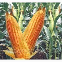 ДН Корунд гибрид кукурудзи продам