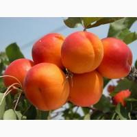 Продажа абрикосов крупный опт
