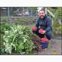 Пропоную саджанці малина сорту Маравілла - Новинка в Украине