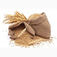 Куплю: пшеницю (2, 3 кл, фураж), ячмінь фуражний, кукурудзу