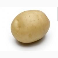 Купим картофель товарный Гренада, королева Анна, опал