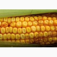 Насіння гібриду кукурудзи ВН 63
