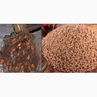 Миндаль земляной (чуфа) для еды, на семена для посадки дешево 10 грн