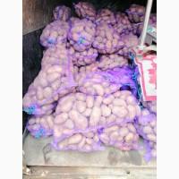 Продам товарный картофель сорт Беларосса