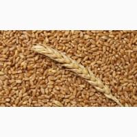 Продам пшеницу органическую III класс