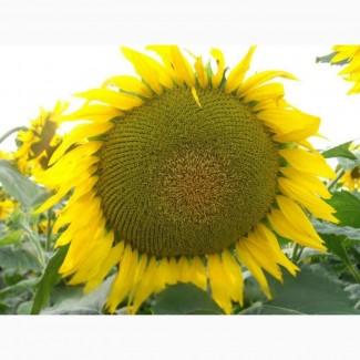 Насіння соняшника Жалон Гранд/стійкий до 50 г гранстару
