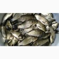 Реалиуем живую рыбу товарную и малька; сом, щука, карась, платва